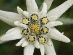 Edelweiss. My Oma used to send one to me, pressed into paper, every Christmas. The petals are as soft as velvet.