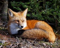 I just love this shot and I love the memories of a great afternoon spent with this fox.
