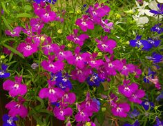 Little lobelia flowers Lobelia Flowers, Freesia Flowers, Garden Landscaping, Landscaping Ideas, Garden Plants, Landscape, Rose, Nature, Romance