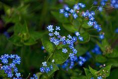 Förgät mig ej ¤ Swedish flower ¤ by JohnnyHogdahl, via Flickr