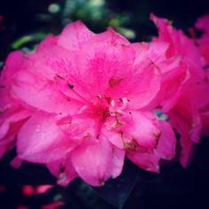 Head into Southern Design Nursery today for new arrivals! Located in Cumming - Open Monday thru Friday  Photo courtesy of @blakelysheriffphotography  #plants #trees #flowers #nature #southerndesignnursery #cumming #atlanta #georgia #photography #follow #landscaping #landscape #diy  #beautiful #picoftheday #followus #nursery #plant  #retail #garden #azalea #camila #flower #pink