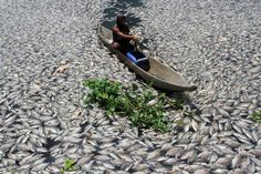INDONESIA-ENVIRONMENT/ A man steers a wooden boat through dead fish in a breeding pond at the Maninjau Lake in Agam regency, West Sumatra province, Indonesia, August 31, 2016. Thousands of fish at the fish farm of the Maninjau Lake died suddenly due to lack of oxygen caused by a sudden change in water conditions. Antara Foto/Muhammad Arif Pribadi/via