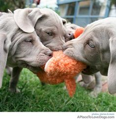 Weimaraner puppies play tug-o-war with a toy.    If you love dogs as much as we do, please visit whatcanwe.org to find out how you can help animals in need.
