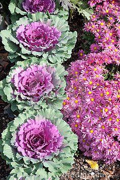 Fall Flowers -Mums and cabbage, another reason I love fall! Red Cabbage and pink Mums Fall Flowers, Beautiful Flowers, Unusual Flowers, Fall Containers, Fall Plants, My Secret Garden, Autumn Garden, Flower Beds, Dream Garden