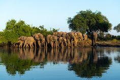 Photograph by Ross Couper Herd Of Elephants, Wildlife, Photograph, Animals, Photography, Animais, Fotografie, Animales, Animaux