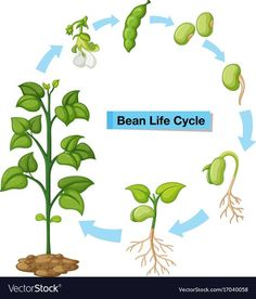 Diagram showing bean life cycle vector image on VectorStock Science Worksheets, Science Lessons, Science For Kids, Art Lessons, Montessori Activities, Science Activities, Science Projects, Sequencing Activities, Seed Germination For Kids
