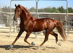 American Saddlebred Horse Print Watch in Gold Large Kathiyawadi Horse, Horse Love, Horse Riding, American Saddlebred, Most Beautiful Animals, Beautiful Horses, Saddlebred Americano, Campolina, Chestnut Horse