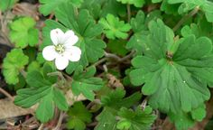 Geranium homeanum - Northern Cranesbill, small herbaceous plant, 5 to 7 deeply divided leaves, tiny pale pink flowers with 5 petals Landscaping Plants, Geraniums, Garden Inspiration, Pale Pink, Pink Flowers, Mt Tamborine, Landscape, Landscape Paintings, Scenery