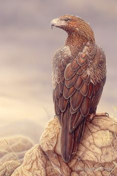 Wedge-tailed Eagle by Christopher Pope