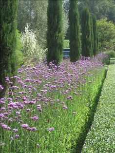 A combination of cypress trees and purple verbena bonariensis make for a stunning view along this driveway to Peter Janke's garden