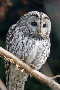 Like the title says: a perched gray owl! This is a Barred Owl. Thanks wiinterrr for the ID! Owl Photos, Owl Pictures, Owl Bird, Pet Birds, Strix Aluco, Tawny Owl, Barred Owl, Beautiful Owl, Gray Owl