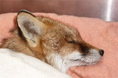Warning over Poisoned Fox in Eastbourne. 14th March 2012