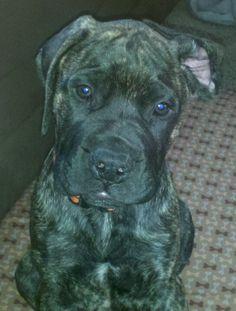 Bull mastiff! I really want him :)