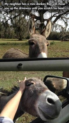 Mini Donkey cant wait to have its head scratched