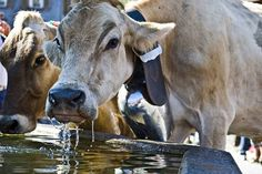 A dairy cow consumes on average 20 gallons of water per day.