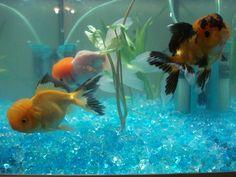apricot oranda goldfish