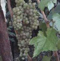 Место для посадки винограда, схема посадки винограда - Частный сайт Пузенко Натальи Лариасовны.