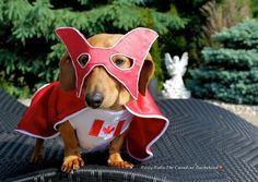 And I'm here to tell you the Captain has been dethroned. By a dog. Who lives (and serves) in the Canadian capital of Ottawa, Ontario. His name is Rusty RuRu The Canadian Dachshund. | This Dachshund Is Not The Hero Canada Deserves, But The Hero Canada Needs