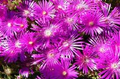 50+ DELOSPERMA FLORIBUNDA STARDUST ICE PLANT FLOWER SEEDS /PERENNIAL in Home & Garden, Yard, Garden & Outdoor Living, Plants, Seeds & Bulbs | eBay