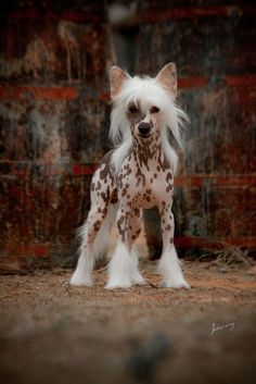 """Cão de Crista Chinês (Chinese Crested Dog) Adore the Chinese Crested! I call them """"little pony's""""...."""