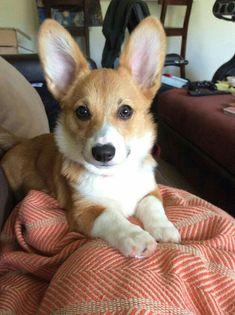 Corgi with long ears