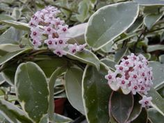 Hoya carnosa Variegata. I had one of these, but when we moved I gave it to a neighbor. It was such a beautiful plant, in or out of bloom.