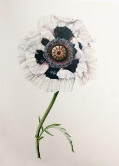 Botanical white poppy