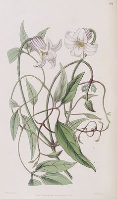 Marsh Clematis, Swamp Leather Flower. Clematis crispa. Edwards's Botanical Register vol.32 (1846) [Sarah Ann Drake]
