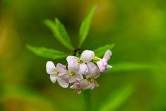 Die Blüte der Zwiebel-Zahnwurz, Wald, Pflanzen, aufgenommen im April