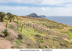 Mountain desert / plain field / meadow hill with fresh spring green grass, small palm trees, agave attenuata plants in bloom, also know as swan's neck and ocean horizon on background. Small Palm Trees, Small Palms, Agave Attenuata, Ocean Horizon, Spring Green, Green Grass, Monument Valley, Stock Photos, Cliff