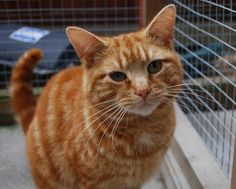 Tigger – 2 year old male Ginger Domestic Short-Haired Cat
