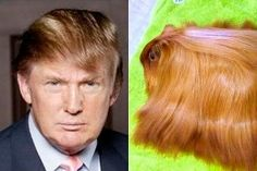 """A #Donald #Trump lookalike - notice the attention to the shiny, combover hair. Luckily the guinea pig won't be able to """"fire"""" its owner!"""