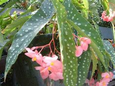 """The easiest way to propagate an Angel Wing Begonia is from stem cuttings. Cut a 3""""-5"""" piece from a non- flowering stem that has two to four nodes on it. Dip the cut end of the stem into a little Rooting Hormone and plant it is a small pot of perlite or sand until it roots."""