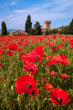 Field of red poppies with palazzo in the background, near Pienza in Tuscany.