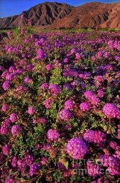 ✮ Desert Sand Verbena Wildflowers