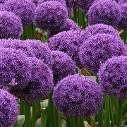 Allium 'Globemaster' - GARDEN.EE