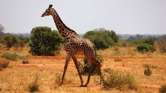 http://fr.cdn.v5.futura-sciences.com/buildsv6/images/mediumoriginal/a/1/4/a1471605ca_88168_girafe.jpg