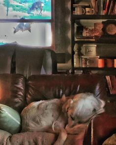 Guard dog fail. #ohdeer #GreatPyrenees #Montana