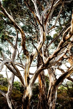 """""""Eucalyptus"""" is a photographic wall art print in our Islands collection. It is available with or without framing in small, medium, large or extra large sizes to buy online. Made in Australia. Limited to 100 prints per size. Australian Photography, Nature Photography, Photography School, Wall Art Prints, Fine Art Prints, Kara Rosenlund, Australia Landscape, Eucalyptus Tree, Kangaroo Island"""