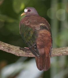 """Stephan's Emerald Dove """"Chalcophaps stephani"""" - found in Sulawesi, New Guinea and the Solomon Islands. Wild Animals Pictures, Animal Pictures, Pretty Birds, Beautiful Birds, Feral Pigeon, Dove Pigeon, Dove Bird, Funny Birds, Wild Creatures"""