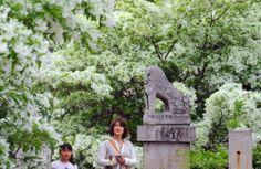 福岡県の岡湊神社でヒトツバタゴの花が満開を迎え、雪をかぶったような真っ白い花が、みずみずしい新緑と鮮やかなコントラストを描いている。Fukuoka-ken no Okanominato jinja de hitotsubatago no hana ga mankai wo mukae, yuki wo kabutta youna masshiroi hana ga, mizumizushii shinryoku to azayaka na kontorasuto wo egaite iru. Bunga hitotsubatago menyambut mekar penuhnya di kuil Okanominato - Fukuoka, bunga yang putih seolah tertimbun salju, melukiskan kontras yang cerah dengan dedaunan baru yang segar.