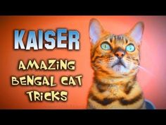 Kaiser the Bengal Cat Performing Tricks