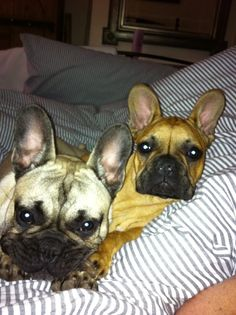 Mia & TJ, French Bulldogs