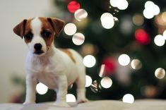 Christmas Jack Russell Terrier #Puppy #Holiday #Dogs