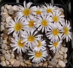 Frithia humilis