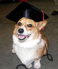 Smarty pants corgi (Franny at her obedience school graduation)