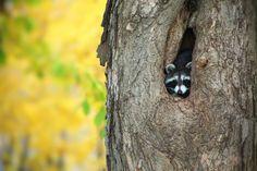 Raccoon in a tree hollow