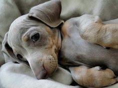 Find Out More On The Friendly Daschund Pups Personality Dachshund Breed, Dachshund Love, Daschund, Dachshunds, Cute Puppies, Cute Dogs, Dogs And Puppies, I Love Dogs, Puppy Love