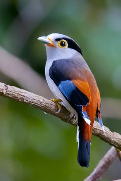 """Silver-breasted Broadbill"" by Allan Seah"