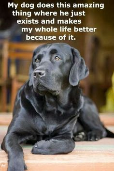 Labrador Retriever information. The Labrador Site is the ultimate guide to buying, raising and training your Labrador from puppy to senior dog. Labrador Retrievers, Black Labrador Retriever, Retriever Puppy, Black Labrador Dog, Chocolate Labrador Retriever, Golden Labrador, Golden Puppy, Baby Dogs, Pet Dogs